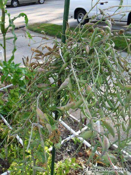 Radish Seed Pods