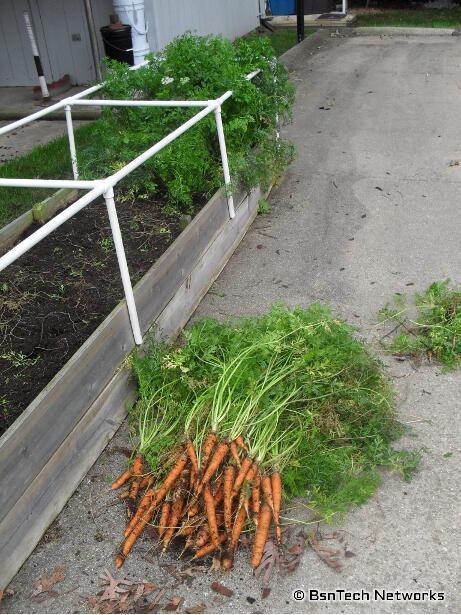 Scarlet Nantes Carrots