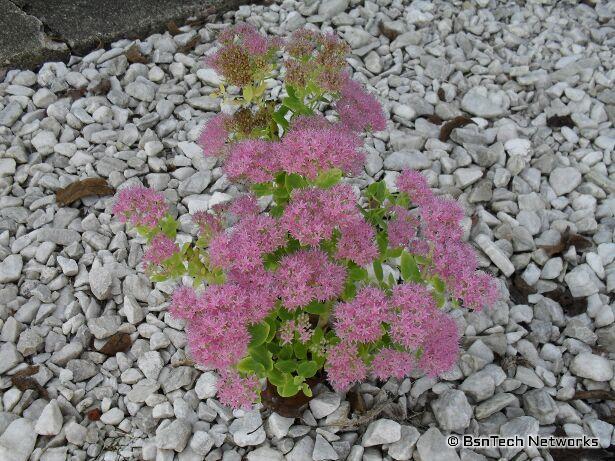 Setum Flower