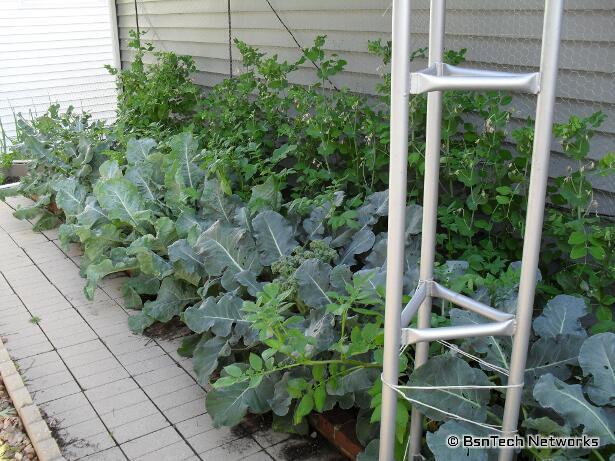 Side Garden - Cascadia Snap Peas