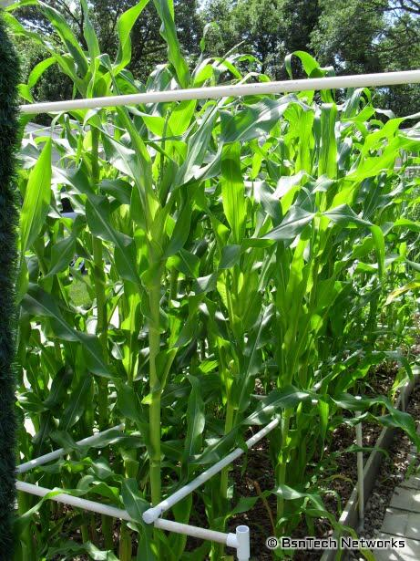 Silver Queen Corn