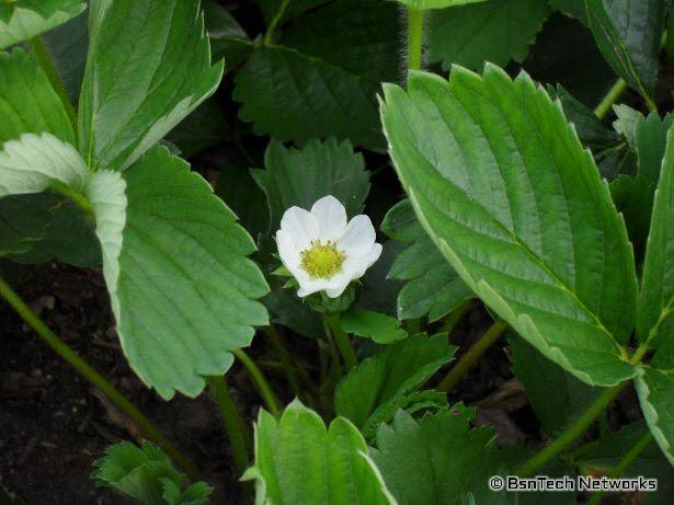 Tri-Star Strawberry Bloom