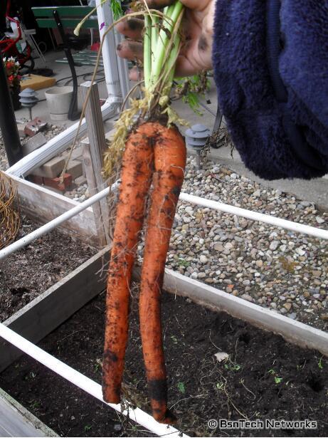 Sugarsnax Carrots