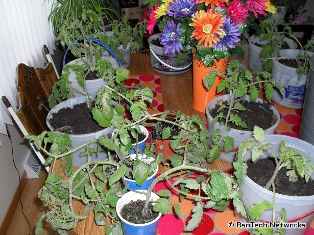 Weathered Tomato Plants