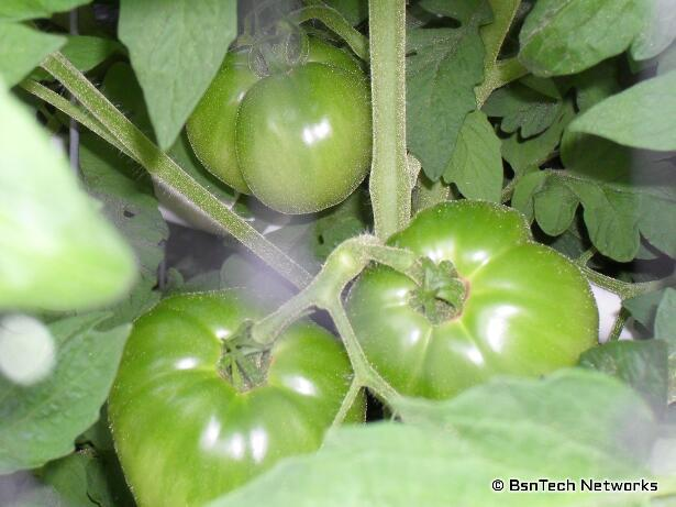 Better Boy Green Tomatoes