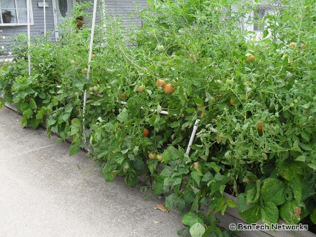 Tomatoes & Green Beans