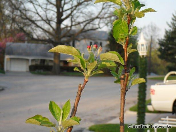 Granny Smith Apple Tree Flowers