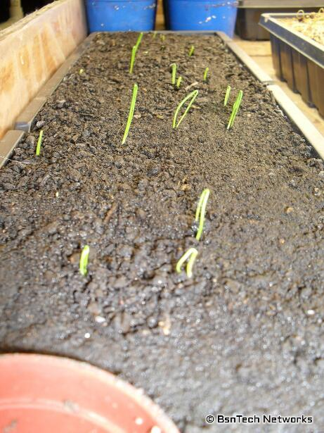 Varsity Onion Seedlings