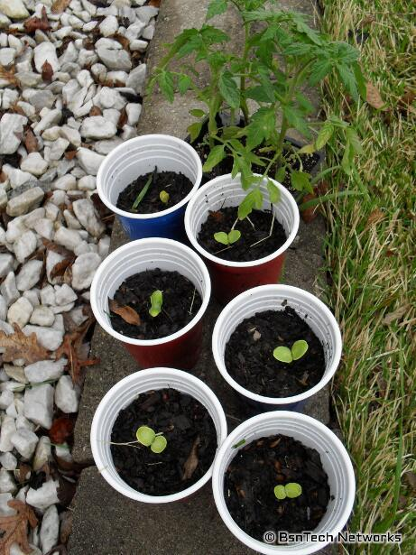 Crimson Sweet Watermleon Seedlings